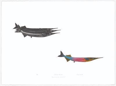 Garfish/Garish Hyporhamphus Melanochir